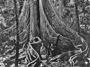 The fig tree pocket tree 1866